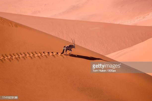 oryx (gemsbock) walking on desert - namibia stock-fotos und bilder