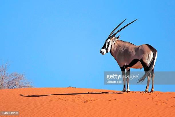 OryxAntilope / Gemsbock / Spiesbock