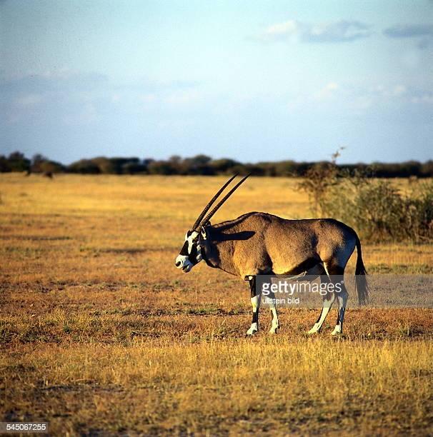OryxAntilope im Etosha Nationalpark inNamibia 1996