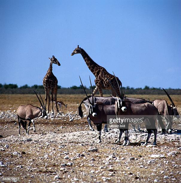 OryxAntilopen und Giraffen im EtoshaNationalpark in Namibia 1996