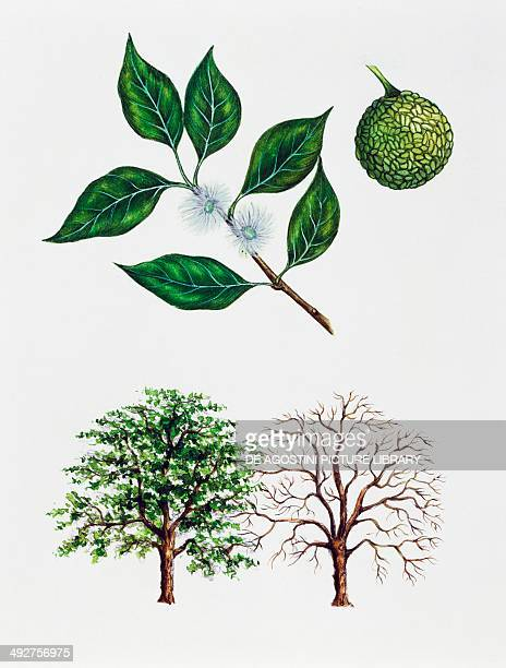 Osage orange Hedge apple or Horse apple Moraceae tree with and without foliage leaves flowers and fruit illustration