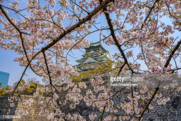 osaka castle seen through a bed of cherry blossoms in spring in osaka, japan - saha entertainment stock pictures, royalty-free photos & images