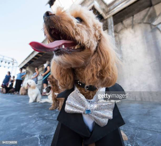 Oscar a 23 month old Cavoodle waits to audition for Handa Opera on Sydney Harbour La Boheme on April 8 2018 in Sydney Australia The competition...