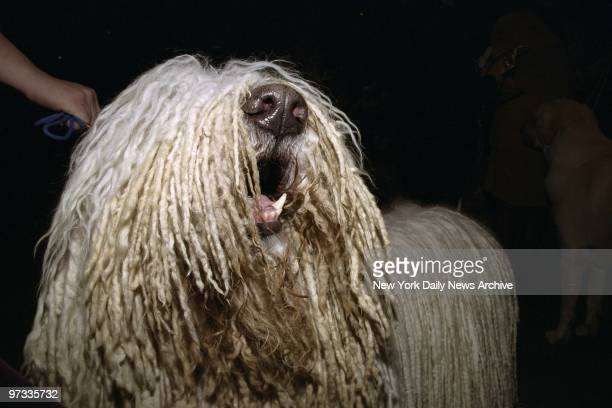 Oscar hopes to mop up some prizes at the 125th Westminster Kennel Club Dog Show in Madison Square Garden where the Komondor is competing
