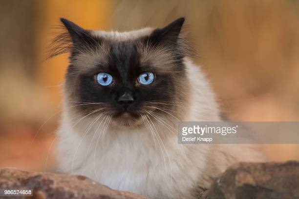 oscar - ragdoll cat stock pictures, royalty-free photos & images