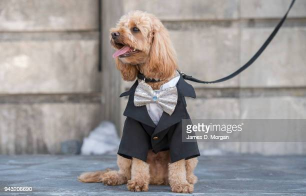 Oscar the 23 month old Cavoodle waits to audition on stage for a role in Handa Opera on Sydney Harbour La Boheme on April 8 2018 in Sydney Australia...