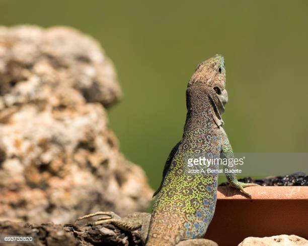 Oscellated lizard (Timon lepidus) in rocky habitat