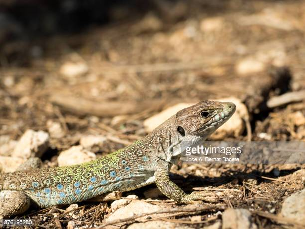 Oscellated lizard (Timon lepidus) still in the soil hunting. Spain