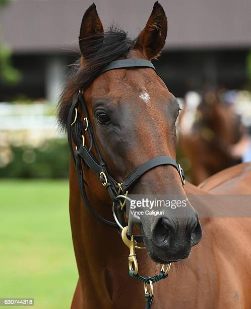 Oscietra parades before finishing 3rd in Race 1 during Melbourne Racing at Flemington Racecourse on January 1 2017 in Melbourne Australia