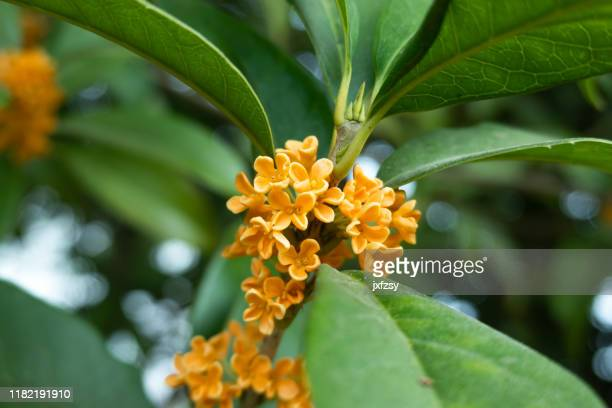 osmanthus flower blooming autumn