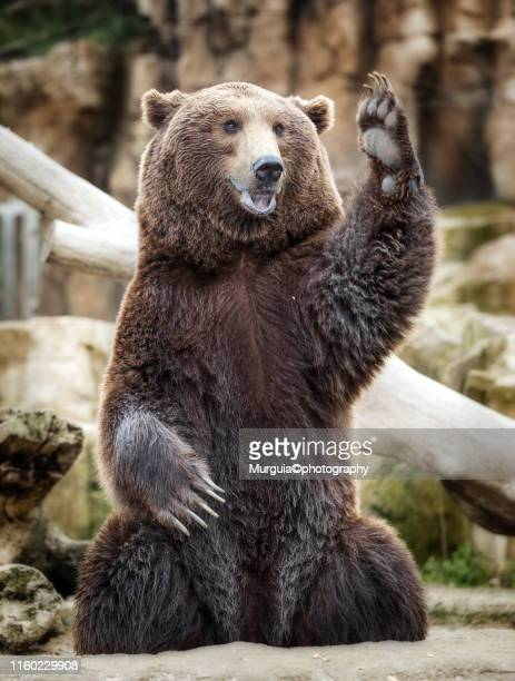 oso pardo - bear stock pictures, royalty-free photos & images
