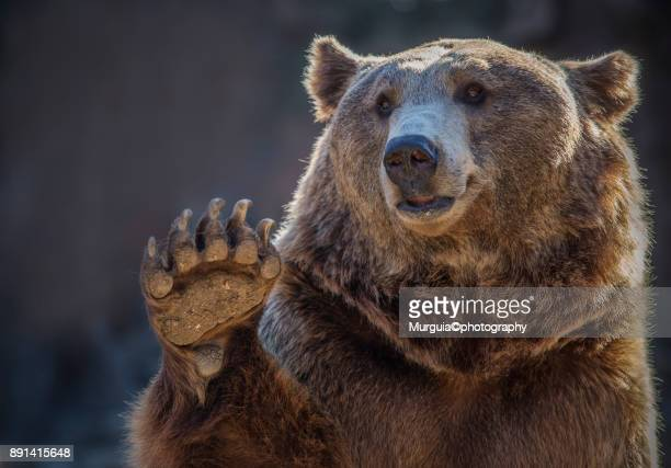 oso - bear stock pictures, royalty-free photos & images