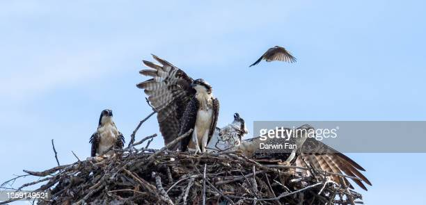 osprey and western kingbird - military attack stock pictures, royalty-free photos & images