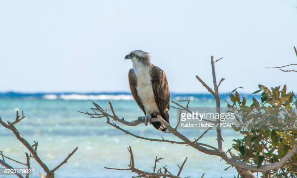osprey birds perching on tree - fischadler stock-fotos und bilder