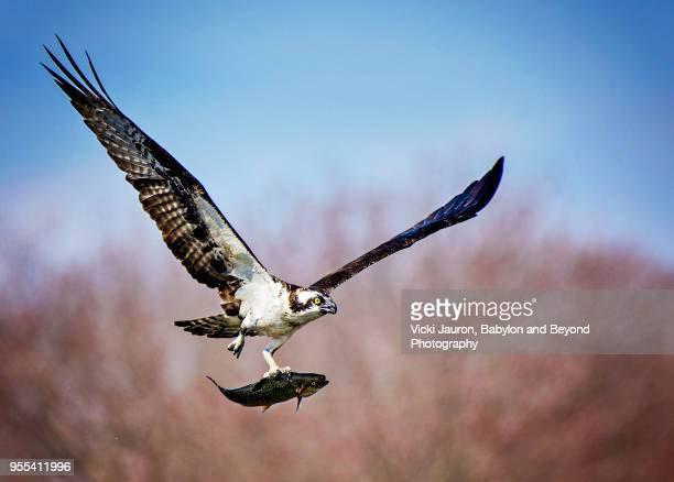 osprey carrying fish with one talon at belmont lake state park - fischadler stock-fotos und bilder
