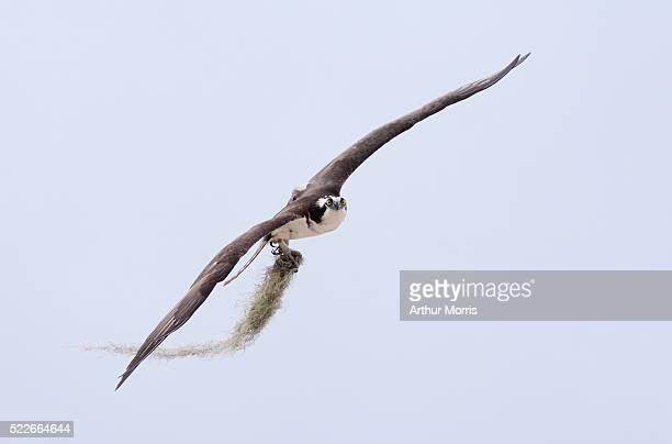 Osprey carrying moss for nest