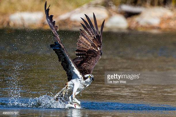 osprey catching a fish - fischadler stock-fotos und bilder