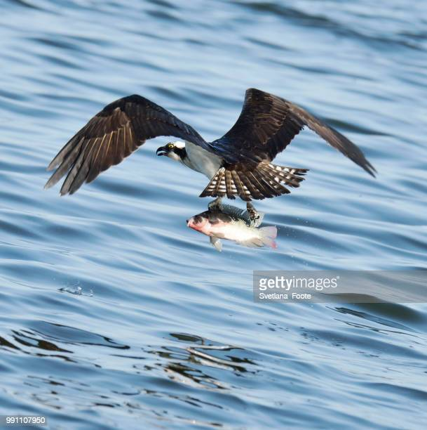osprey catching fish - svetlana stock photos and pictures