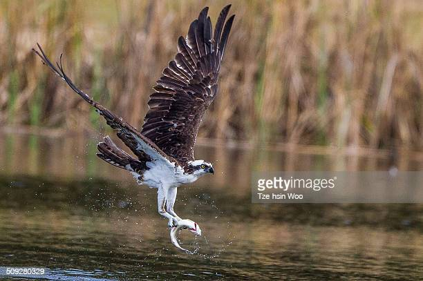 osprey caught a fish - fischadler stock-fotos und bilder
