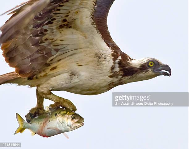 Osprey Closeup with Fish in Talons