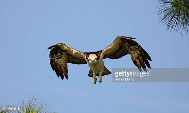 Osprey Descending for Landing