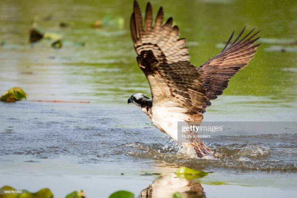 Osprey Diving For Fish : Stock Photo