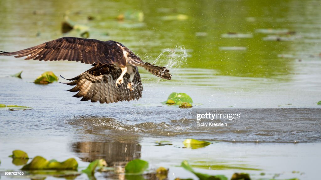 Osprey Diving For Fish : Stock-Foto