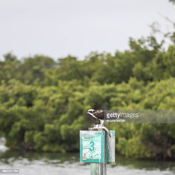 Osprey Eating a Fish in Pine Island Sound, Florida