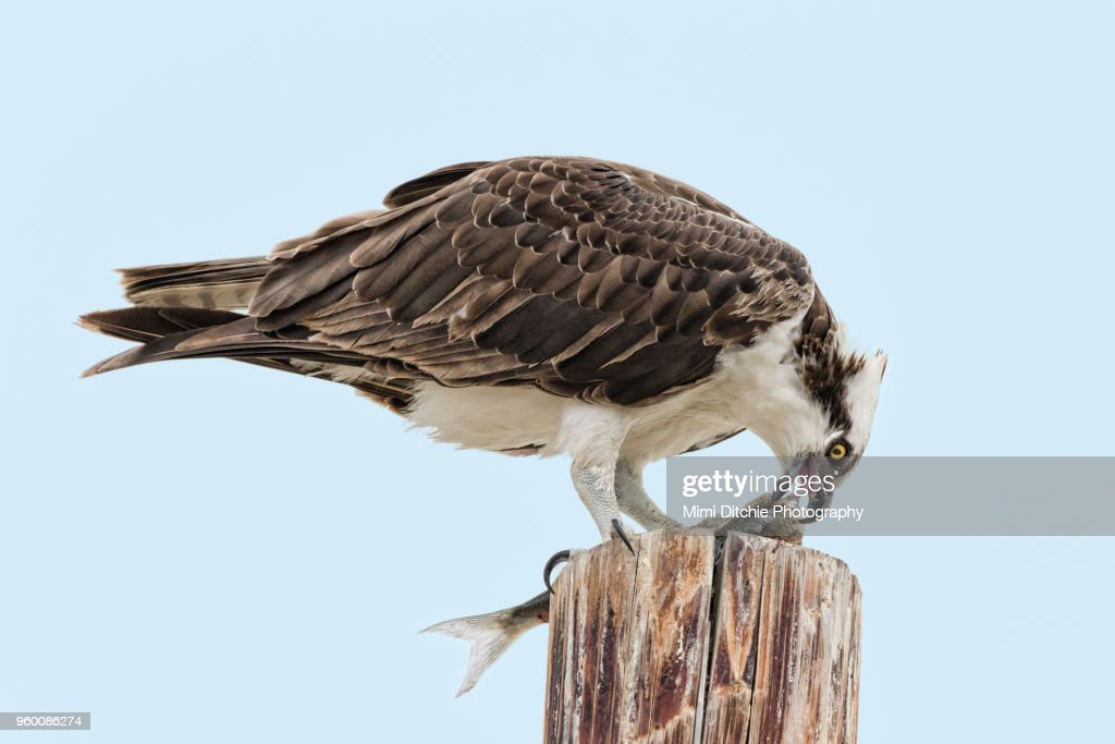 Osprey Eating a Fish : Stock-Foto