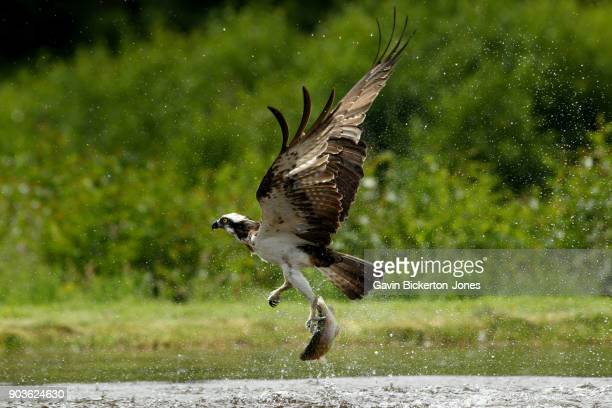 osprey emerges with fish - fischadler stock-fotos und bilder