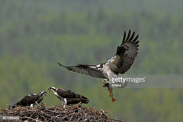 Osprey feeding juveniles by bringing fish to nest