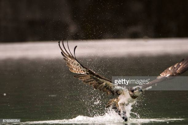 osprey fishing - fischadler stock-fotos und bilder