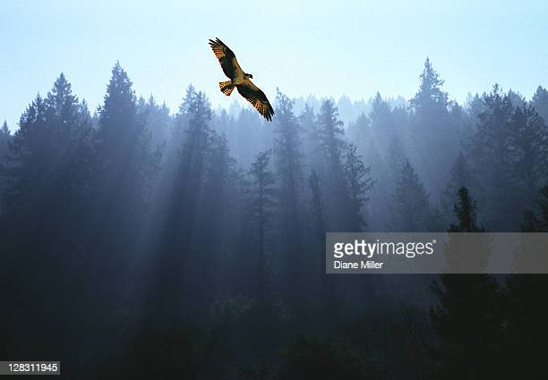 osprey flying above fir trees with sunrays streaming through mist - hawk bird stock photos and pictures
