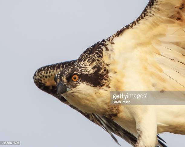 Osprey (Pandion haliaetus) flying against sky