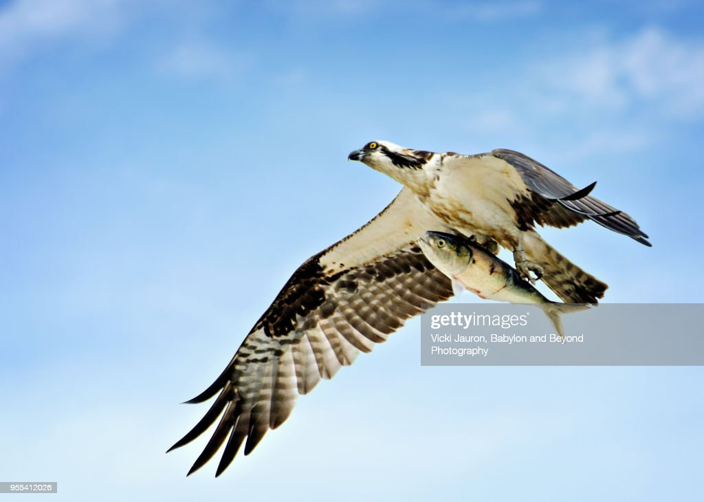 Osprey Flying High with Fish at Caumsett State Park : Stock Photo