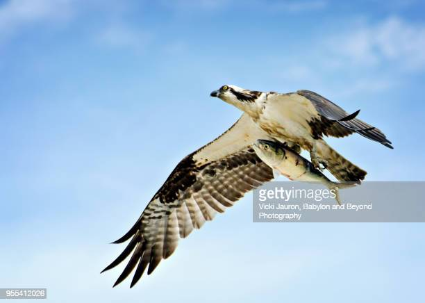 osprey flying high with fish at caumsett state park - hawk nest foto e immagini stock