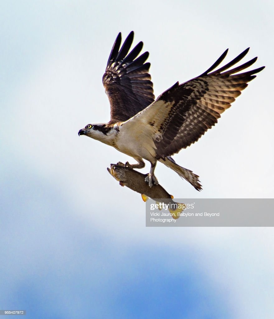 Osprey Flying High With Large Fish in Talons at Belmont Lake : Stock Photo