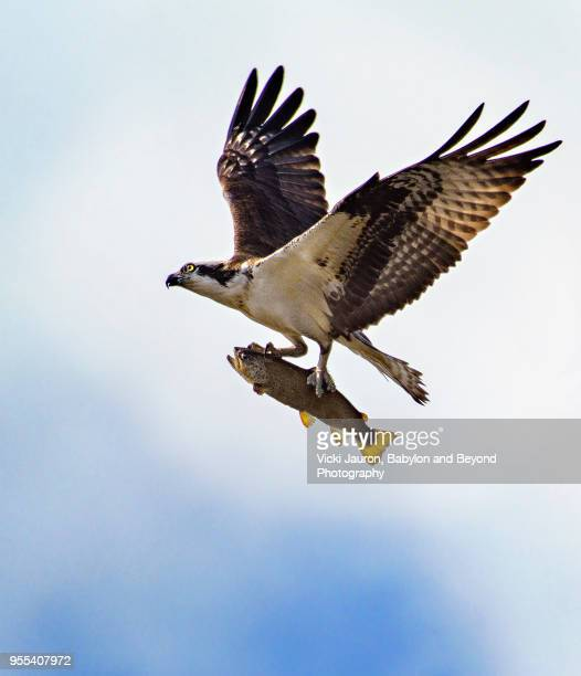 osprey flying high with large fish in talons at belmont lake - hawk stock photos and pictures