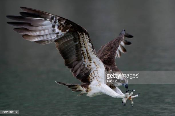 osprey flying low above the water - fischadler stock-fotos und bilder