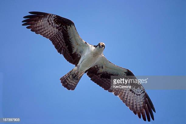 osprey flying - fischadler stock-fotos und bilder