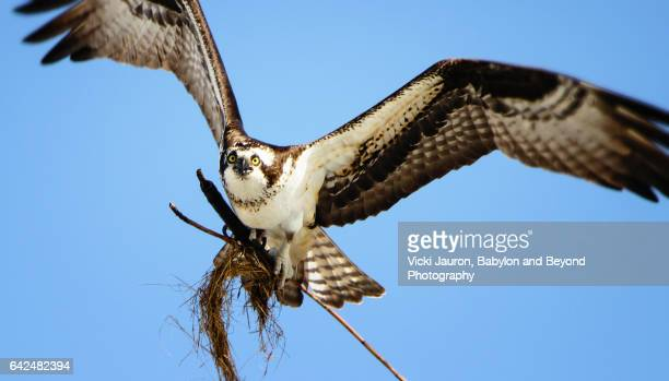 Osprey Flying Toward Camera with Nest Material