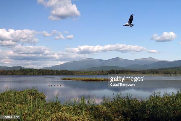 Osprey flying with fish at Cherry Pond in New Hampshire USA