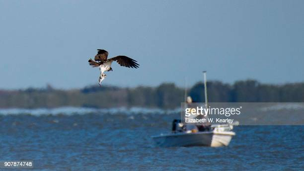 osprey flying with fish - titusville florida stock pictures, royalty-free photos & images