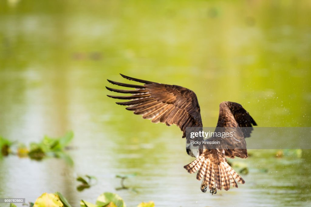 Osprey Hovering Over Water : Stock-Foto