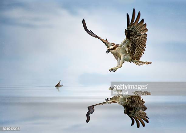 osprey (pandion haliaetus) hunting for fish, florida, america, usa - fischadler stock-fotos und bilder