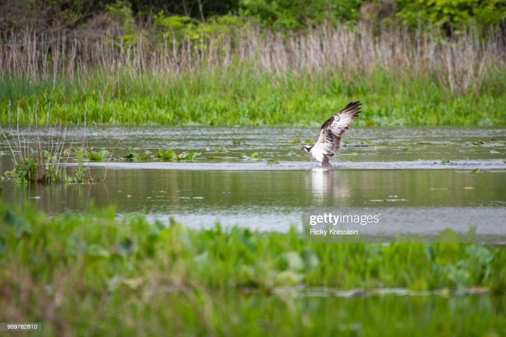 Osprey Hunting : Stock-Foto