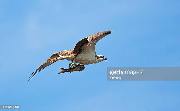 osprey in everglades national park in flight with fish catch - hawk bird stock photos and pictures