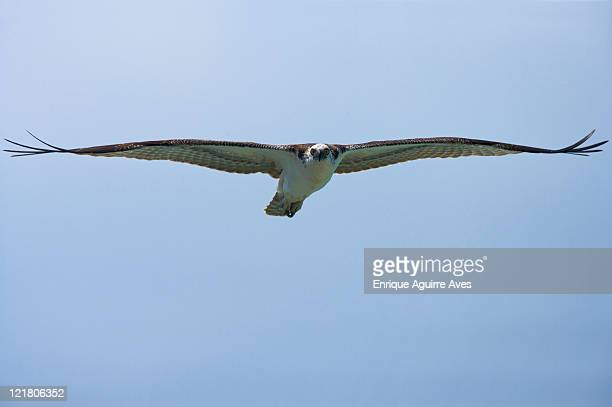 Osprey (Pandion haliaetus) in flight, Belize