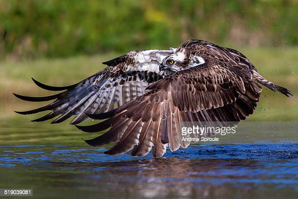 Osprey in flight over a lake in Scotland