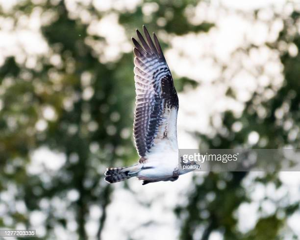 osprey in flight - kelowna stock pictures, royalty-free photos & images